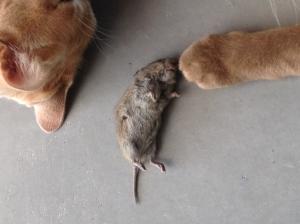 De eerste muis werd met trots binnengebracht