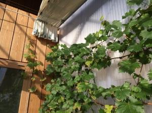 De druif is bezig met landjepik