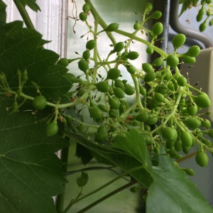 De druif begint vaste vormen aan te nemen