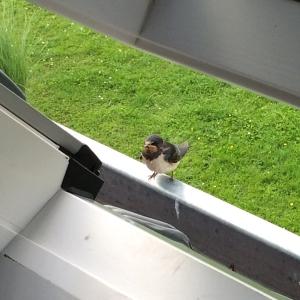 Terwijl ik werk vliegen de zwaluwen tot in het raam