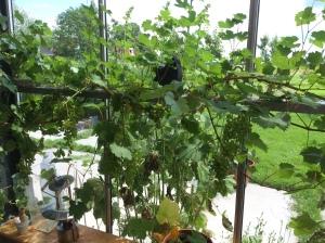 Veel druiven